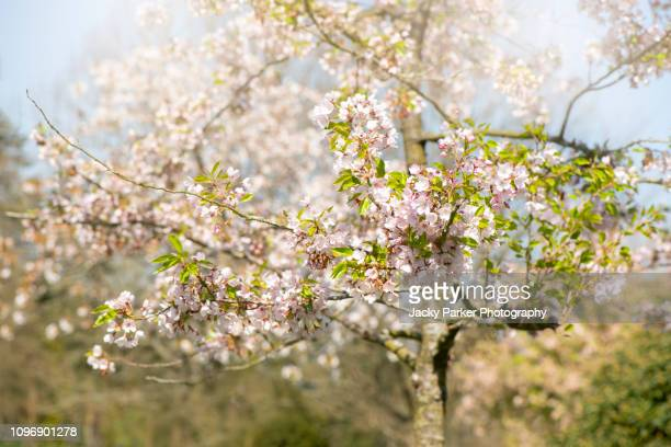 close-up image of the beautiful spring flowering cherry blossom pink flowers - fruit tree stock pictures, royalty-free photos & images