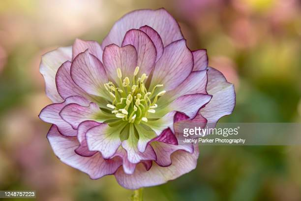 close-up image of the beautiful spring flowering, double flowered pink hellebore also known as the lenten or christmas rose - ヘレボルス ストックフォトと画像