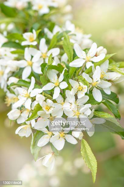 close-up image of the beautiful spring flowering malus transitoria, the cut-leaf crabapple white blossom flowers - blossom stock pictures, royalty-free photos & images