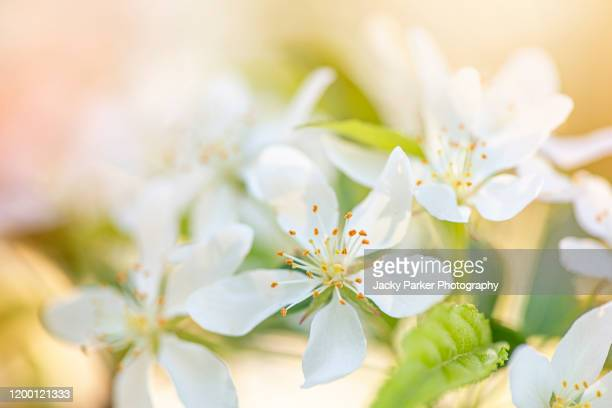 close-up image of the beautiful spring flowering malus transitoria, the cut-leaf crabapple white blossom flowers - crab apple tree stock pictures, royalty-free photos & images