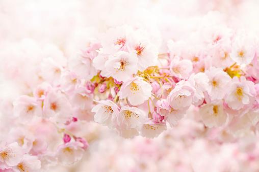 Close-up image of the beautiful spring flowering pink Cherry blossom flowers of the Japanese flowering Cherry tree Prunus 'Takasago' - gettyimageskorea