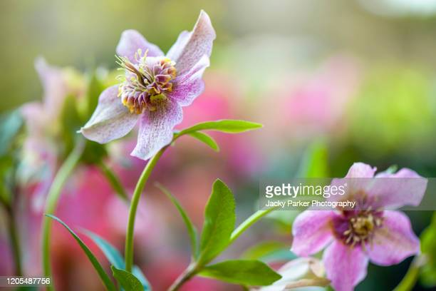 close-up image of the beautiful spring flowering pink helleborus x hybridus 'tutu' also known as the lenten or christmas rose flowers - ヘレボルス ストックフォトと画像