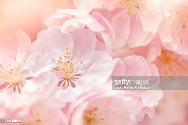 close-up image of the beautiful spring flowering, soft pink blossom flowers of malus 'snowcloud' crab apple tree - defocussed stock pictures, royalty-free photos & images
