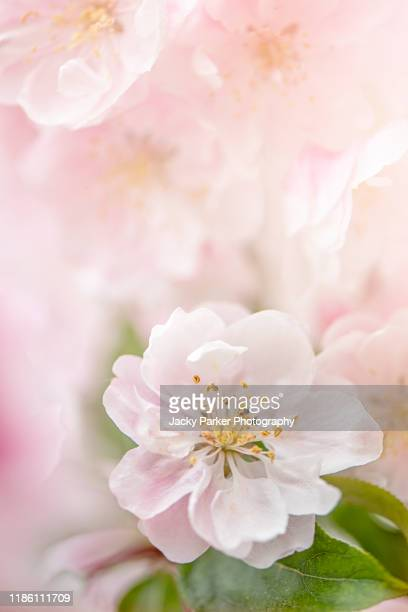 close-up image of the beautiful spring flowering, soft pink blossom flowers of malus 'snowcloud' crab apple tree - apple blossom tree stock pictures, royalty-free photos & images