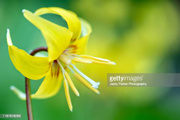 close-up image of the beautiful spring flowering yellow, erythronium 'pagoda' (dog tooth violet) flower - pagoda stock pictures, royalty-free photos & images