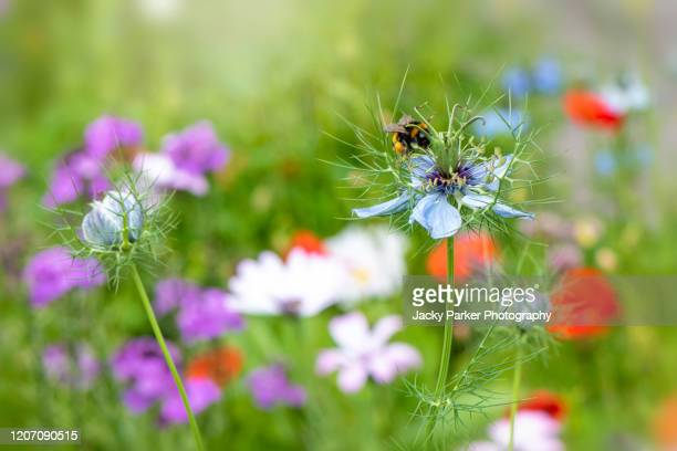 close-up image of the beautiful spring love-in-a-mist white flower also known as nigella damascena in an english summer meadow - wildlife stock pictures, royalty-free photos & images