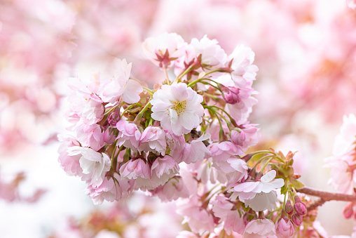 Close-up image of the beautiful spring Ornamental Cherry blossom flowers - gettyimageskorea