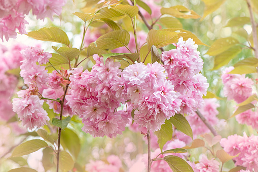 Close-up image of the beautiful spring Ornamental Cherry blossom pink flowers of Prunus 'Kanzan' - gettyimageskorea