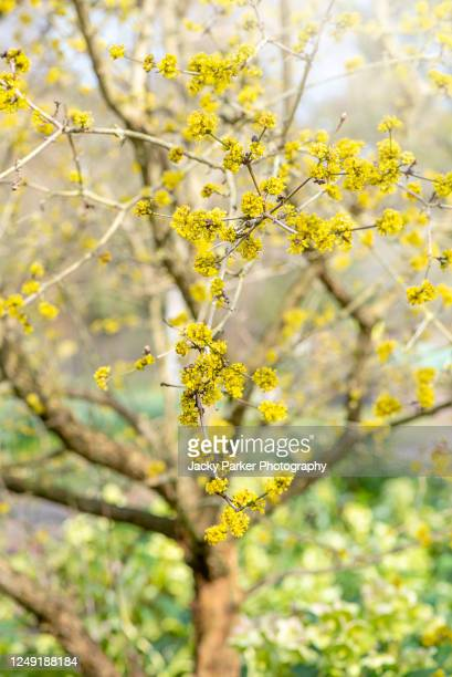 close-up image of the beautiful spring yellow flowers of cornus mas 'redstone' in soft sunshine also known as 'redstone' cornelian cherry - branch stock pictures, royalty-free photos & images