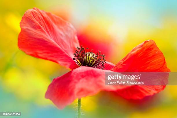 close-up image of the beautiful summer flower common red poppy flower, also known as the corn poppy, field poppy and papaver rhoeas - memorial day background stock pictures, royalty-free photos & images