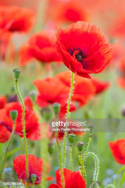 close-up image of the beautiful summer flower common red poppy flower, also known as the corn poppy, field poppy and papaver rhoeas - remembrance day stock pictures, royalty-free photos & images