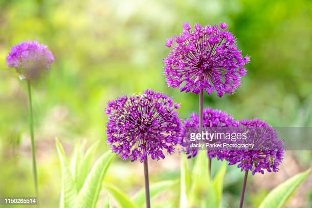 """close-up image of the beautiful summer flowering allium """"purple sensation"""" spring flowers against a soft background - allium flower stock pictures, royalty-free photos & images"""