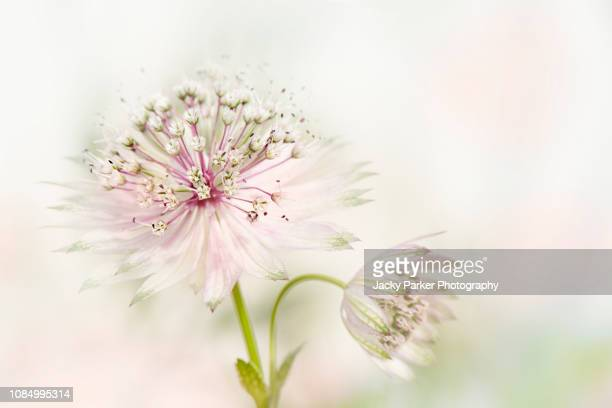 close-up image of the beautiful summer flowering astrantia major pink flower also known as masterwort - high key stockfoto's en -beelden