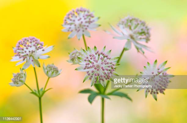 close-up image of the beautiful summer flowering astrantia major pink flowers also known as masterwort - high key stockfoto's en -beelden