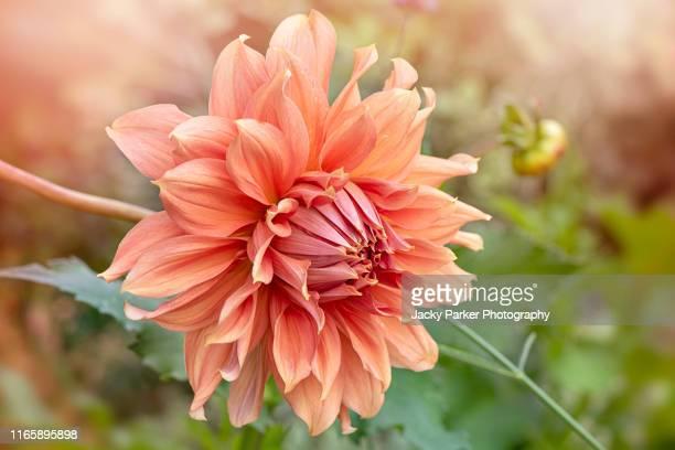 close-up image of the beautiful summer flowering dahlia 'fairway spur' orange flower - parte della pianta foto e immagini stock