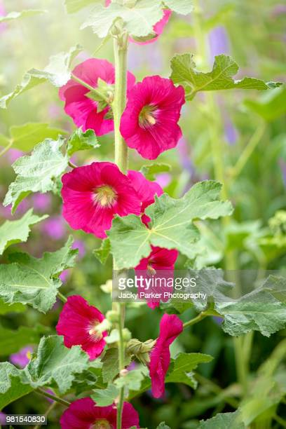 Close-up image of the beautiful summer flowering Hollyhock vibrant red flowers in hazy sunshine