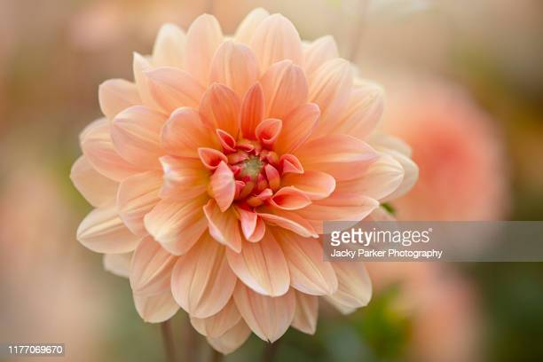 close-up image of the beautiful summer flowering orange 'waterlily' dahlia 'apricot desiree' flower in soft sunshine - ninfea foto e immagini stock