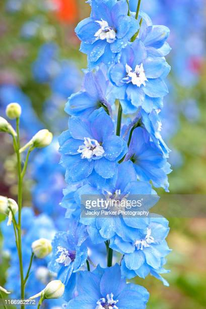 close-up image of the beautiful summer flowering pale blue delphinium tall flowers in soft sunshine - delphinium stock pictures, royalty-free photos & images