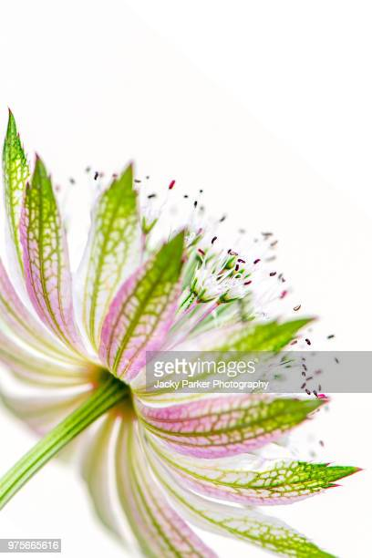 close-up image of the beautiful summer flowering perennial plant astrantia major also known as masterwort or hattie's pincushion - high key stockfoto's en -beelden