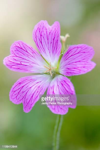close-up image of the beautiful summer flowering, pink crane's-bill, cranesbill geranium flower in summer sunshine - midsommarblomster bildbanksfoton och bilder