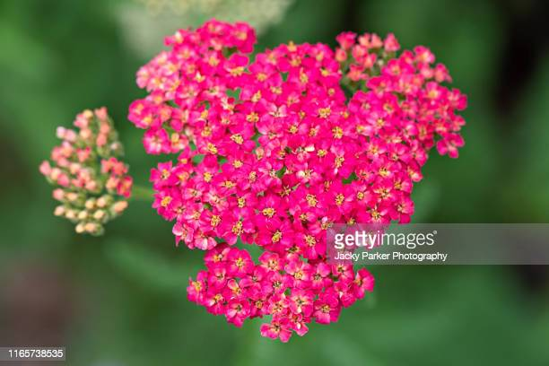close-up image of the beautiful summer flowering, pink flowers of the common yarrow, achillea millefolium 'lansdorferglut' a perennial wildflower - yarrow stock pictures, royalty-free photos & images