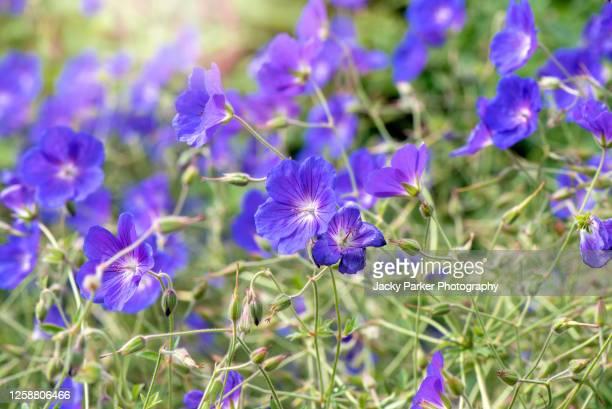 close-up image of the beautiful summer flowering purple hardy geranium, cranesbill (geranium) flowers - midsommarblomster bildbanksfoton och bilder