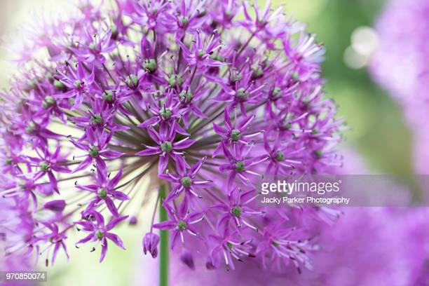 Close-up image of the beautiful summer flowering 'Purple Sensation' Allium flowers, a bulbous perennial plant in the onion family