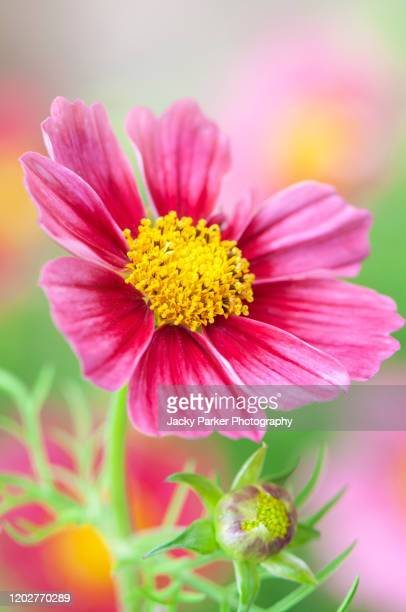 close-up image of the beautiful summer flowering, red cosmos flowers in hazy sunshine - cosmos flower stock pictures, royalty-free photos & images