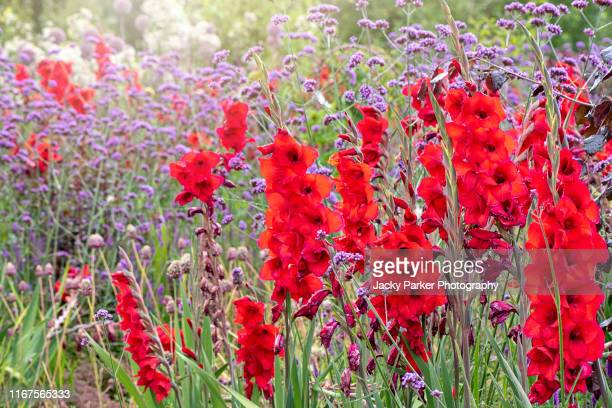 close-up image of the beautiful summer flowering vibrant red gladiolus flowers with purple verbena bonariensis flower also known as 'purpletop' or south american vervain - gladiolus stock pictures, royalty-free photos & images