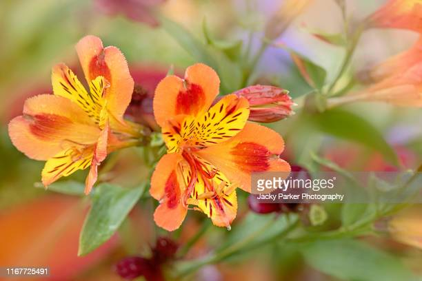 close-up image of the beautiful, vibrant orange flowers of the alstroemeria, commonly called the peruvian lily or lily of the incas - alstroemeria stock pictures, royalty-free photos & images