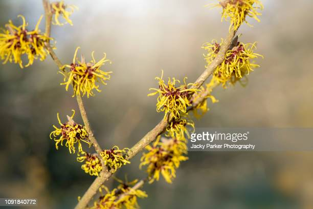 Witch Hazel Photos and Premium High Res Pictures - Getty Images