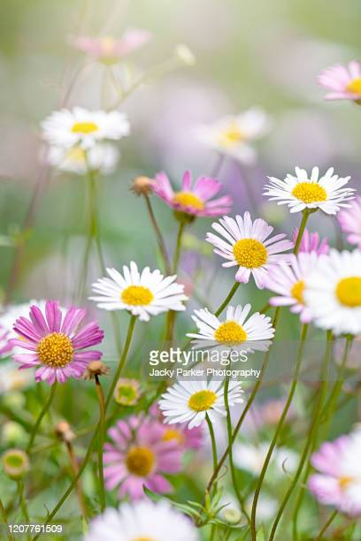 close-up image of the daisy-like flowers of erigeron karvinskianus also known as fleabane, mexican daisy, santa barbara daisy and seaside daisy - daisy stock pictures, royalty-free photos & images