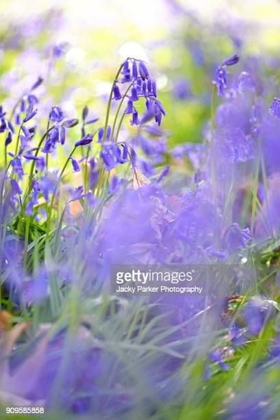 Close-up image of the delicate blue English Bluebell spring flowers also known as Hyacinthoides non-scripta