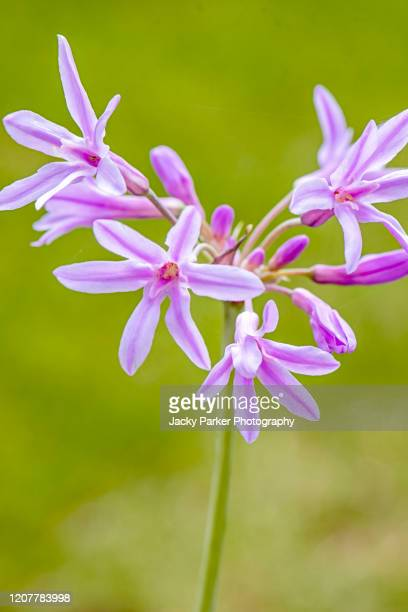 close-up image of the delicate purple flowers of tulbaghia violacea 'silver lace' also known as society garlic 'silver lace' - southern africa stock pictures, royalty-free photos & images