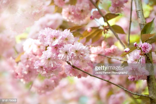 Close-up image of the delicate spring blossom flowers of the Japanese spring flowering Cherry tree