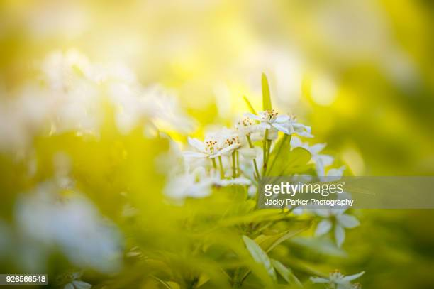 close-up image of the delicate white spring flowers of choisya ternata also known as mexican orange blossom or mexican orange - orange blossom stock photos and pictures