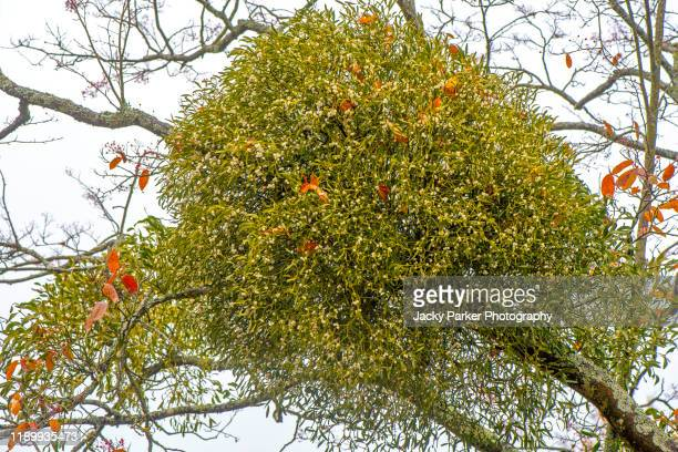 close-up image of the evergreen plant mistletoe - viscum album with white festive berries - parasite stock pictures, royalty-free photos & images