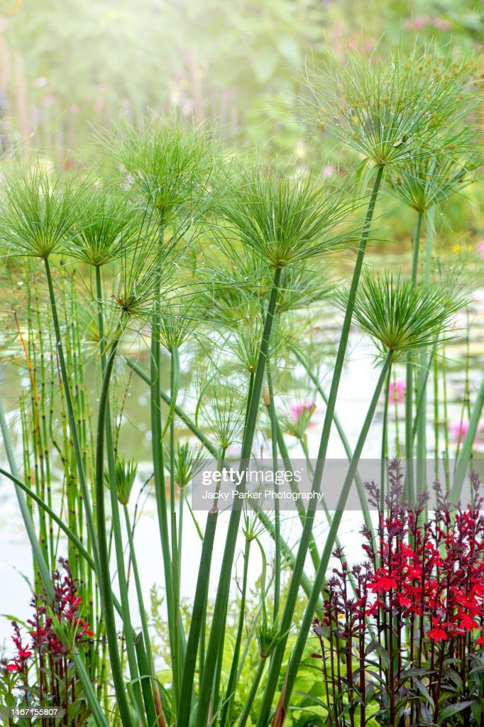 Closeup Image Of The Green Tall Aquatic Plant Cyperus Papyrus Also Known As Papyruspapyrus Sedge Paper Reed Indian Matting Plant Nile Grass High-Res Stock Photo - Getty Images