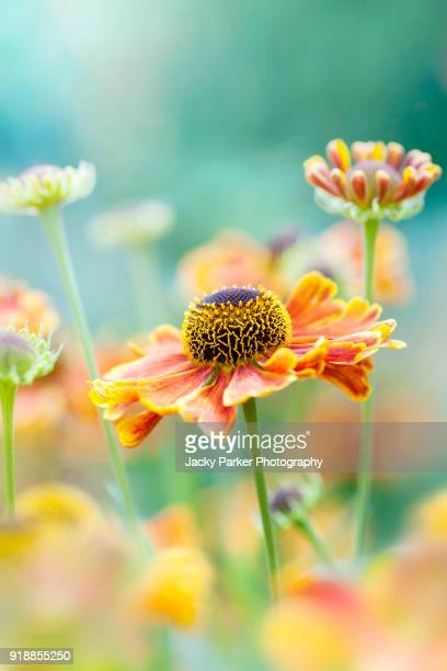 Close-up image of the late summer flowering orange Helenium flower also known as Sneezeweed