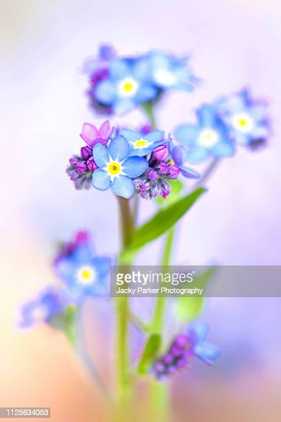 close-up image of the pretty spring flowering blue forget-me-not flowers also known as myosotis scorpioides or scorpion grass - forget me not stock pictures, royalty-free photos & images