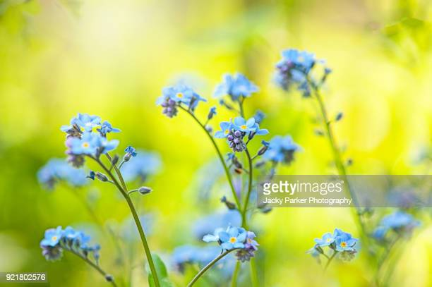 Close-up image of the pretty spring flowering Forget-me-not blue flowers also known as Myosotis