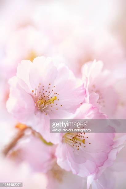 close-up image of the soft pink blossom flowers of prunus accolade, the 'accolade' ornamental cherry tree - cherry blossom stock pictures, royalty-free photos & images