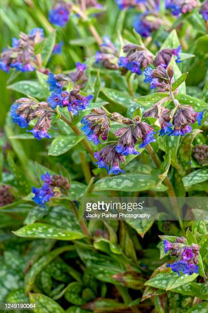 close-up image of the spring blue flowers of pulmonaria angustifolia 'lewis palmer' also known as lungwort - garden stock pictures, royalty-free photos & images
