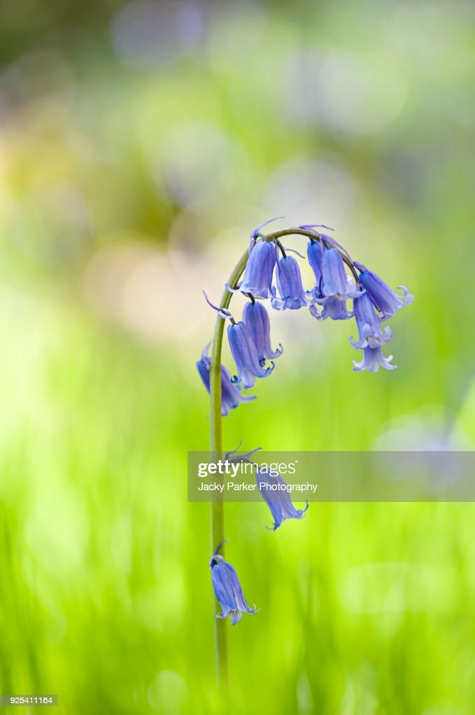 Closeup Image Of The Spring Flowering Bellshaped Blue Flowers Of The