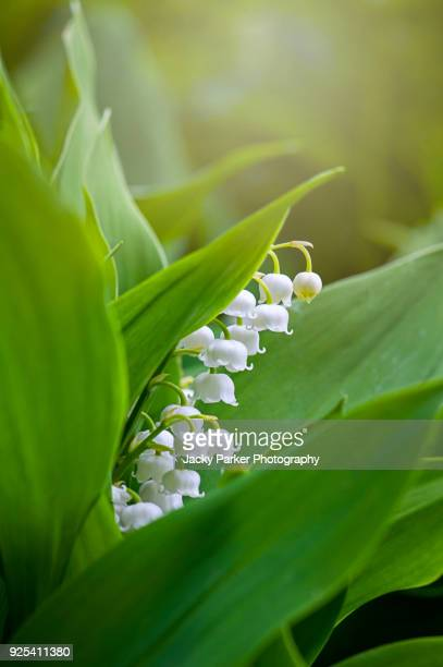 close-up image of the spring flowering, bell-shaped white flowers of lily of the valley also known as convallaria majalis - mughetti foto e immagini stock