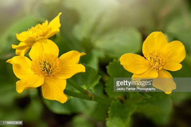 close-up image of the spring flowering buttercup-yellow flowers of caltha palustris, known as marsh-marigold and kingcup - buttercup stock pictures, royalty-free photos & images