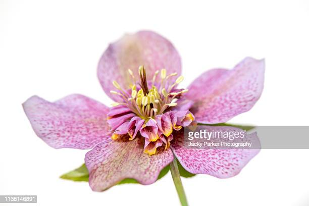 close-up image of the spring flowering hellebore x hybridus 'tutu' also known as the lenten rose of christmas rose. - ヘレボルス ストックフォトと画像