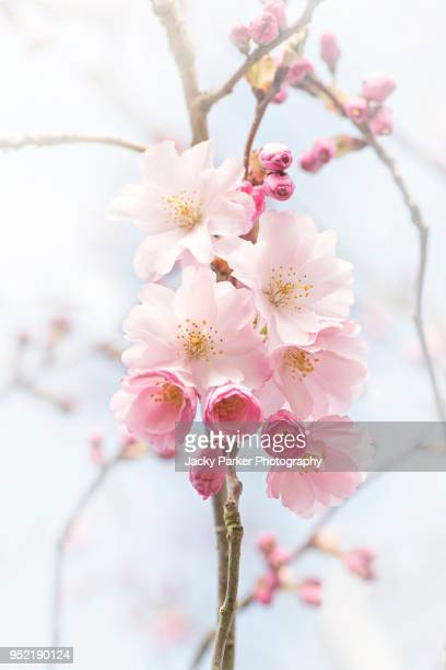 """close-up image of the spring flowering japanese oriental cherry tree 'prunus accolade"""" - fruit tree stock pictures, royalty-free photos & images"""
