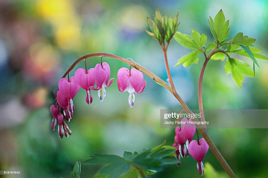 Closeup image of the spring flowering pink bleeding heart flowers close up image of the spring flowering pink bleeding heart flowers also known mightylinksfo