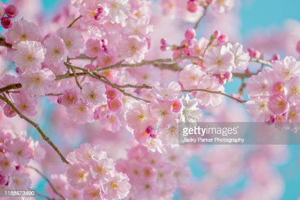 close-up image of the spring flowering pink cherry blossom flowers - cherry blossom stock pictures, royalty-free photos & images